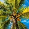 Indoneziyada talabalarga o'qish uchun to'lovni kokos bilan amalga oshirishga ruxsat berildi