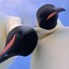 Antarktidada pingvinlar kamera topib oldi va selfi-videoga tushdi (video)