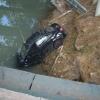 Toshkentda «Lasetti» avtomashinasi Bo'rijar kanaliga tushib ketdi (foto)