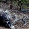 Леопард ва жайранинг олишуви (видео)