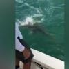 Улкан балиқ акулани ютиб юборди (видео)