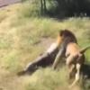 Шернинг одамга қилган ҳужуми видеога олинди (видео)