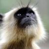 Вьетнамда 6 нафар эркак камёб маймунни тириклайин еб қўйди