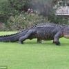 Флоридада улкан аллигатор гольфчиларни ҳайратга солди (видео)