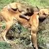 Бир кўзидан айрилган кўппак етим қолган маймунни боқиб олди (видео)