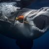 Акуланинг тишларини санаган фотограф (Фотогалерея)