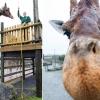 Бугунги кунда энг узун жирафа қаерда яшайди?