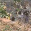 """Leopard va ulkan piton o'rtasidagi """"o'lim jangi""""ni tomosha qiling (Video)"""