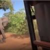Дарғазаб фил сайёҳлар автомобилига ҳужум қилди (видео)