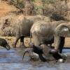 Жанубий Африкада фил каркидон овлаётган браконьерни ўлдирди