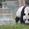 130 марта оталик бахтига мушарраф бўлган дунёдаги энг кекса панда вафот этди