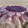 Yangi Zelandiya sohillarida antiqa jonzot topildi (foto)