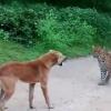 Қўрқмас ит оч леопардни чекинишга мажбур этди (видео)