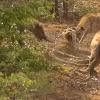 Шоқоллар қуршовида қолган леопард (видео)