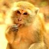 Ҳиндистонда маймун ёш болани ўғирлаб кетди