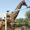 Жирафани минганга қандай жазо бор? Қозоқ «чавандоз»и қидириляпти