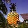 Eng ulkan ananas haqida