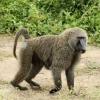 Keniyalik erkakni maymun uy tomidan irg'itib yubordi (video)