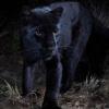 Африкада юз йил ичида илк бор ноёб қора леопард суратга олинди