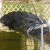 Avstraliyada uzunligi 5 metr bo'lgan ulkan timsoh tutildi
