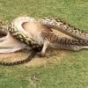 Австралияда улкан питон кенгуруни ютиб юборди
