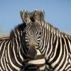Optik illyuziya: Suratdagi bosh qaysi zebraga tegishli?