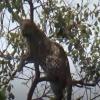 Ҳиндистонда маймунни қувлаётган леопард дарахтда қолиб кетди (видео)