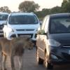 Kryuger milliy bog'idagi sher turistlar o'tirgan avtomobil eshigini ochishga urindi (video)