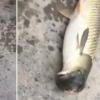 Хитойда боши каптарникига ўхшаган балиқни тутиб олишди (видео)