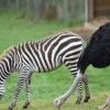 Buyuk Britaniyada tuyaqush zebra bo'lishga qaror qildi va o'z oilasini tark etdi