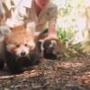 Австралиянинг Сидней ҳайвонот боғида ноёб қизил пандачалар дунёга келди (видео)
