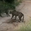 Икки леопарднинг олишуви (видео)