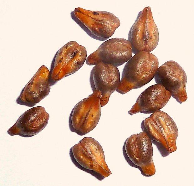 Узум уруғи саратонни 80 % га даволаши мумкин!