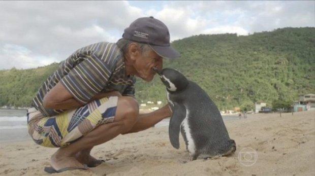 Халоскорини кўриш учун минглаб чақиримдан сузиб келадиган пингвин