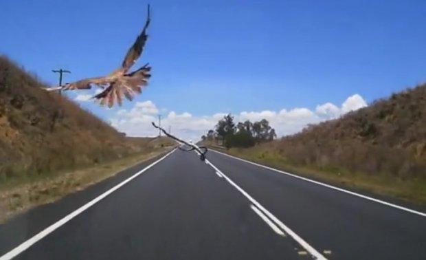 Видеохит: Австралияда йиртқич қуш ҳаракатланаётган машинага илонни ташлаб қочди (видео)