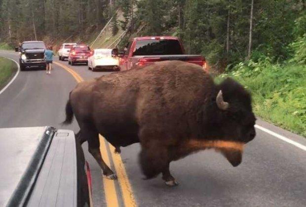 Erkak yo'lning o'rtasida bizon bilan korrido musobaqasini o'tkazdi (Video)