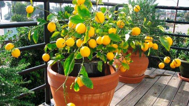 Лимон нархи йил бошидан буён қарийб 152 фоизга ошди